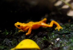 Orange frog at the Denver Zoo