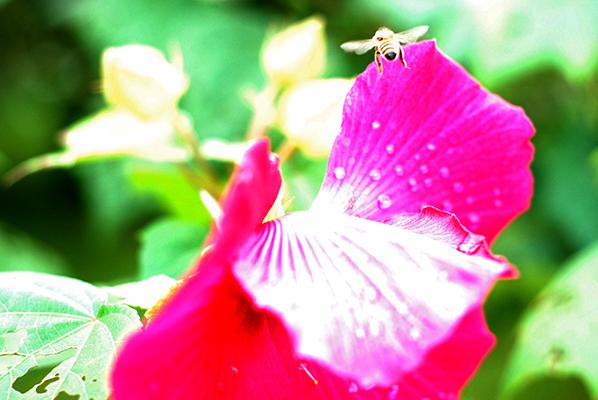 A bee in Hawaii