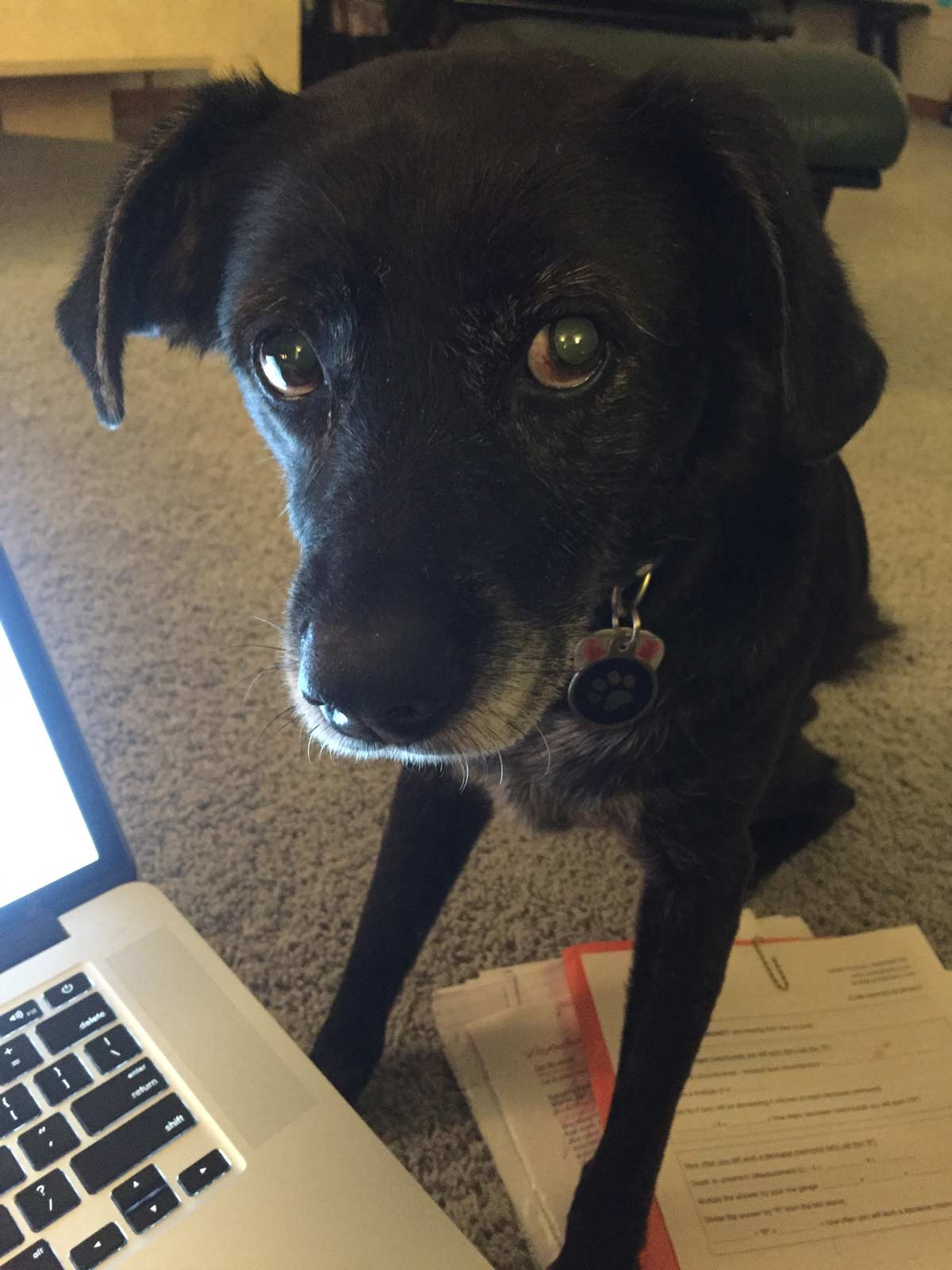 clara, a dark brown dog, helping with the laptop