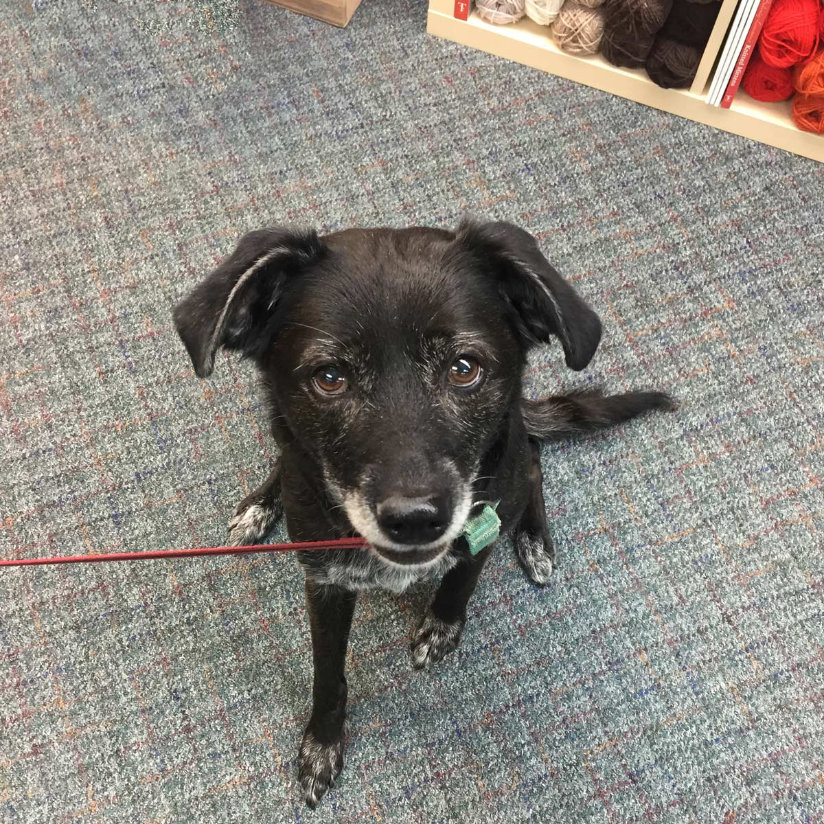 clara, a dark brown dog, sitting in a yarn store