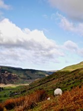 Welsh countryside with lonely sheep