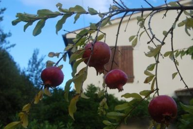 pomegranates at the kitchen door
