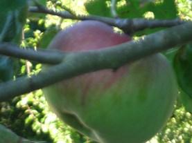 single perfect apple harvest