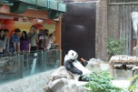 Panda exhibiting his natural rather lazy behavior.
