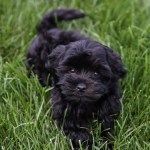 Puppy Love Saramichellewells Com Adding A Havanese Puppy To Our Family