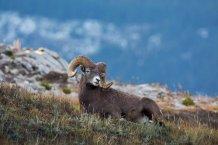 JosiahLaunstein-High-Country-Bighorn-1920px-800x534