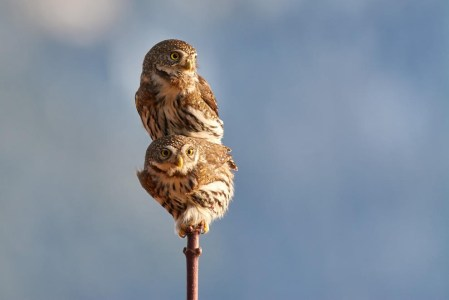 Northern-Pygmy-Owls-Mating-by-Josiah-Launstein