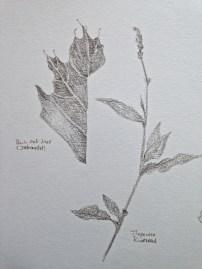 Black Oak Leaf, Knotweed