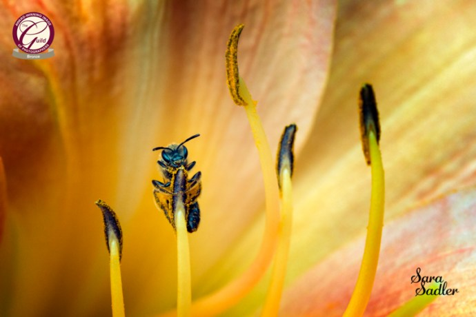 Close up of a bee gathering pollen on the stamen of a flower.
