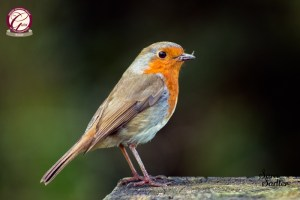 Bird Photography - A close up image of a robin with insects in its beak.