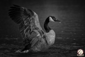 Monochrome image of a canada goose with outstretched wings.
