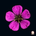 Award Winning Photography - Single pink geranium flower