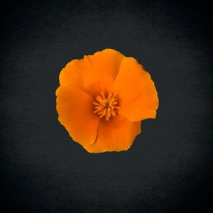 Golden poppy flower