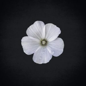 white hibiscus flower art