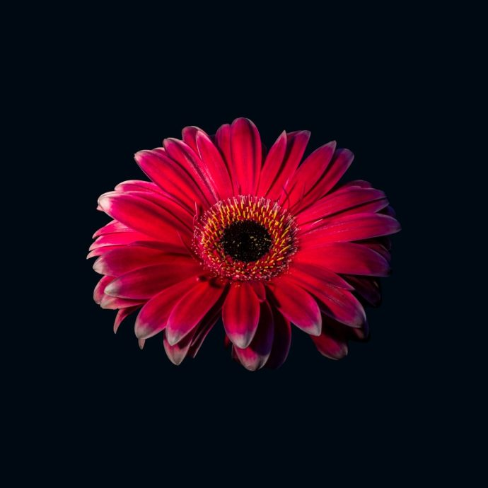 Red Gerbera Flower in a black background.
