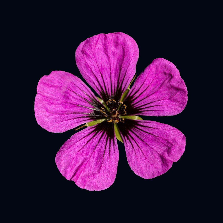 Pink Geranium Flower ops a black background