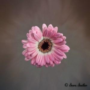 Pink Gerbera flower - editing flower photographs