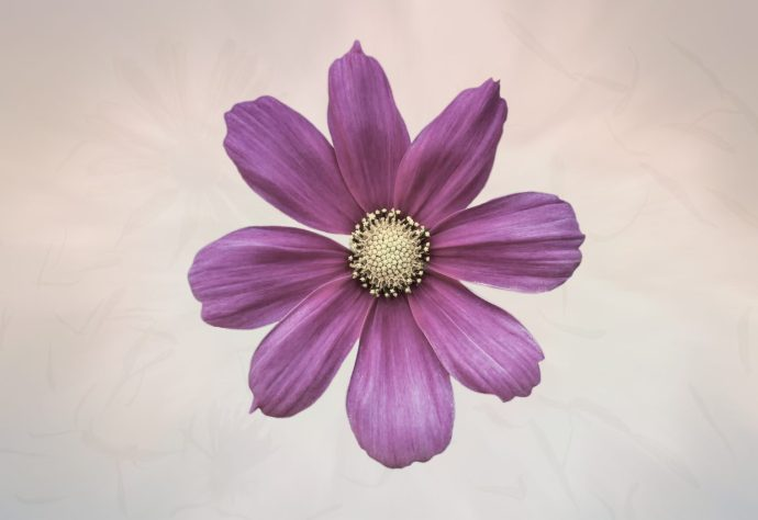 Purple Cosmos Flower pictures and gifts