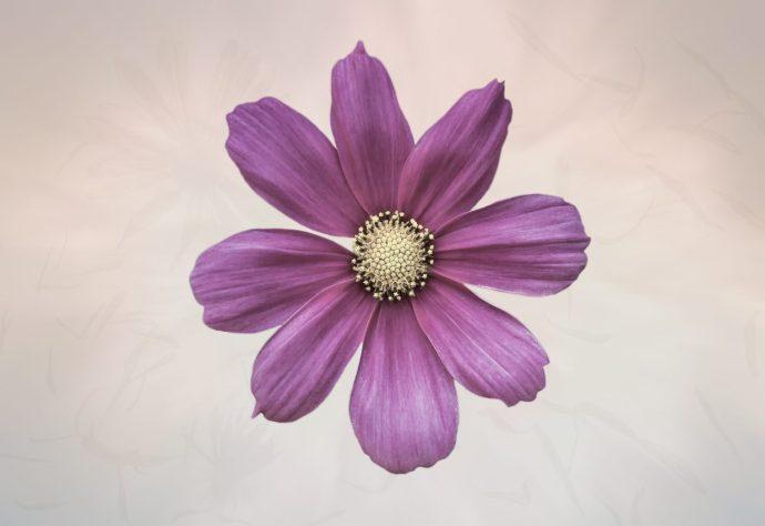 Purple Cosmos Flower fine art photography