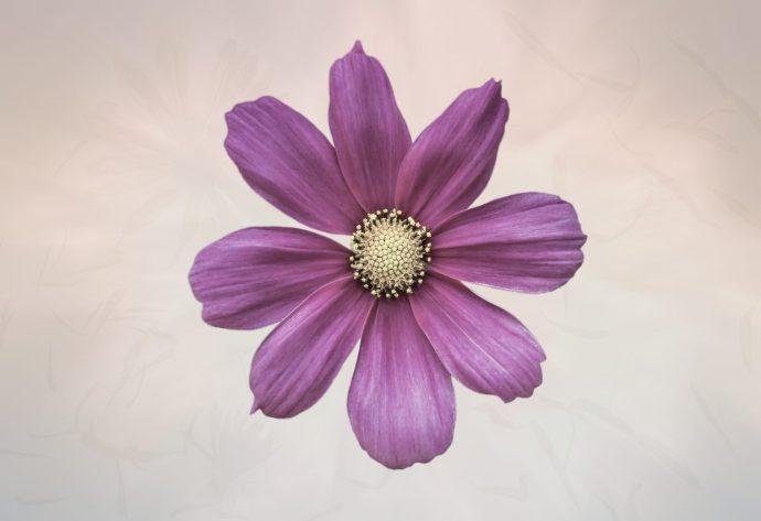 Purple Cosmos Flower