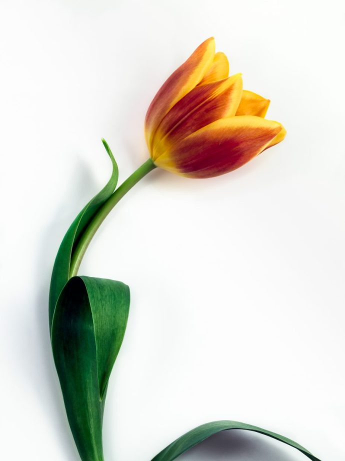 Single Tulip flower