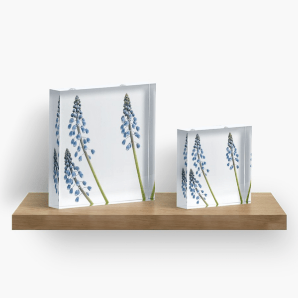 grape Hyacinth flower acrylic block