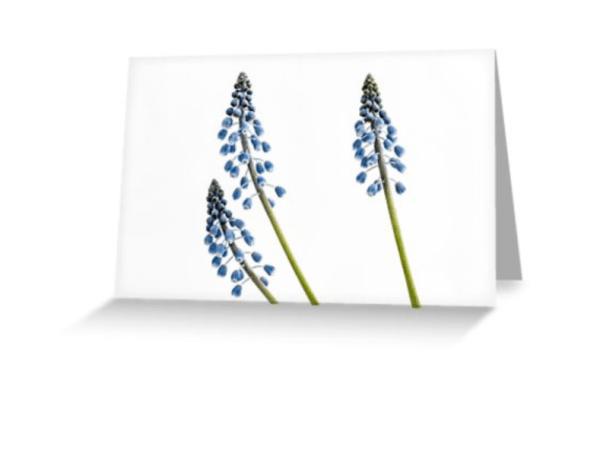 Grape Hyacinth Flower Cards