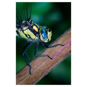 Dragonfly Photographs - Close up of a Southern Hawker Dragonfly