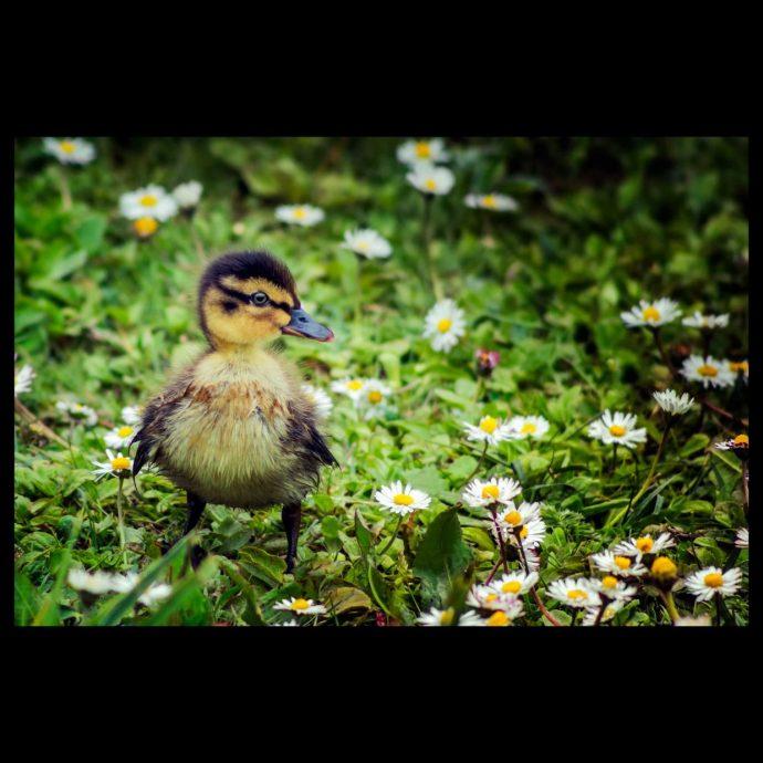 Duckling in spring