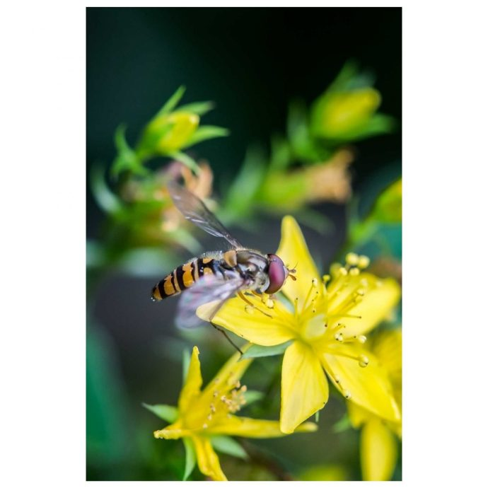 Hoverfly on yellow flower