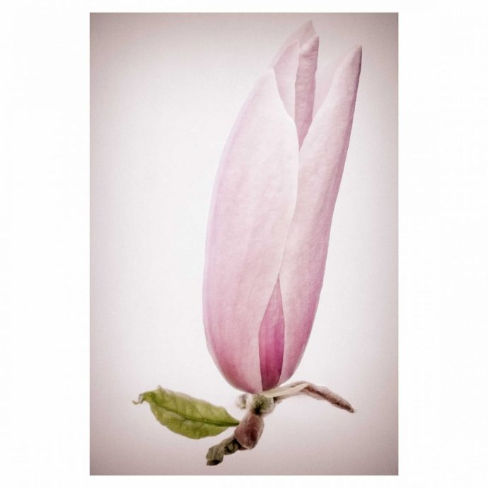 Spring Flowers- the magnolia flower