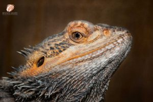 Reptile Photography - close up of a bearded dragon