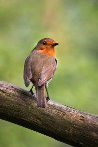 The Beautiful Robin