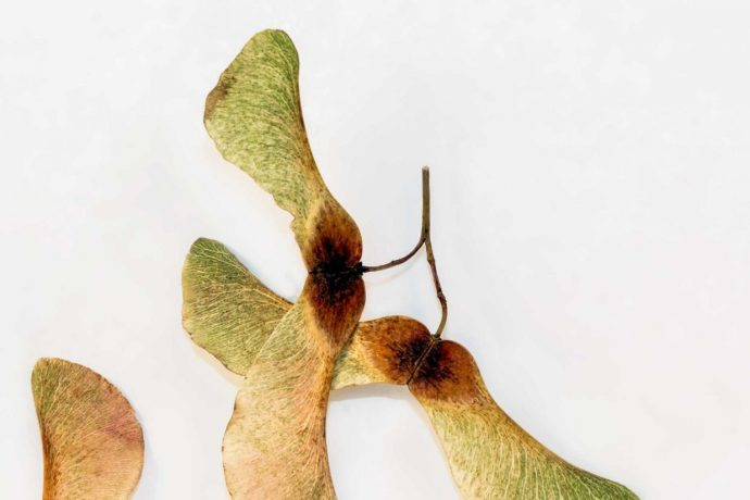 Autumn in abstract - Sycamore seeds