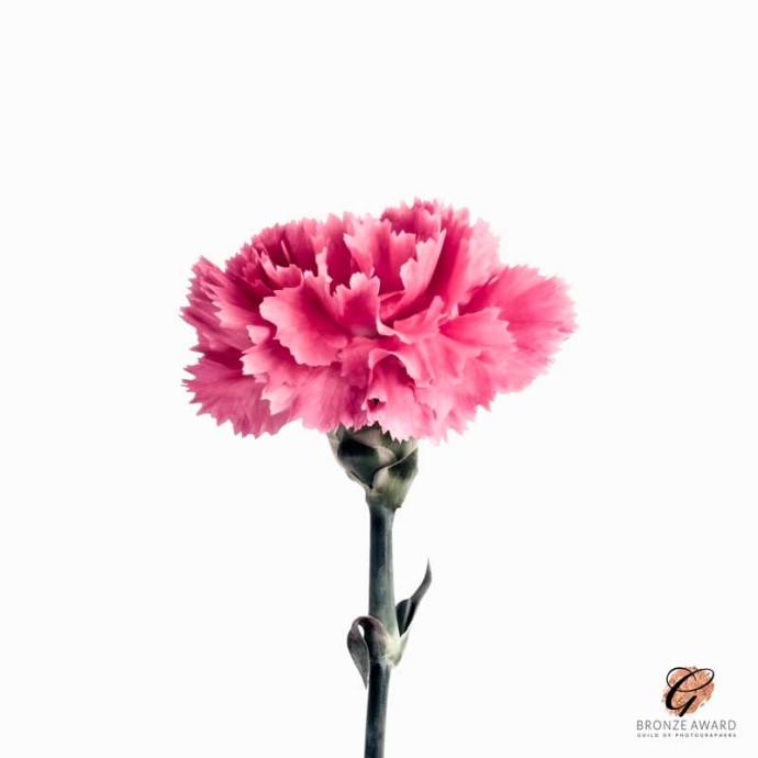 Pink Carnation - Bronze award
