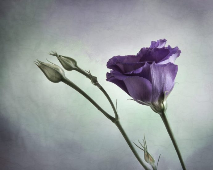 fine art floral photography of a striking purple flower