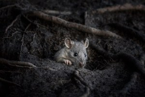 Countryfile photo competition entry of a cute rat