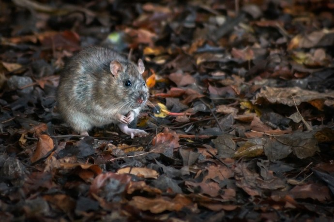 Brown rat in the wild