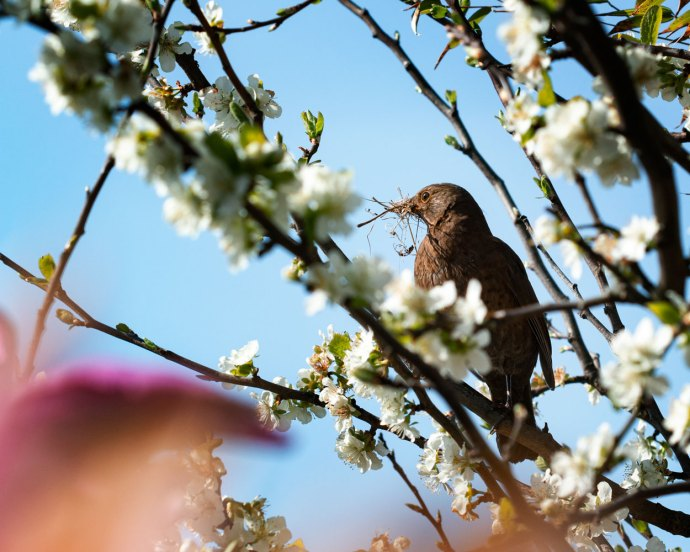 female blackbird wins Signs of Spring photo competition