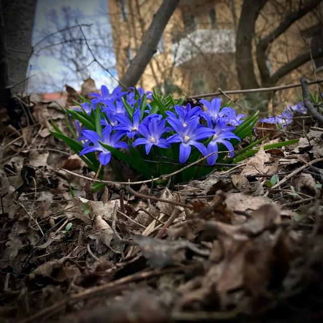 Vårliga blå scilla i bruna döda fjolårslöv.