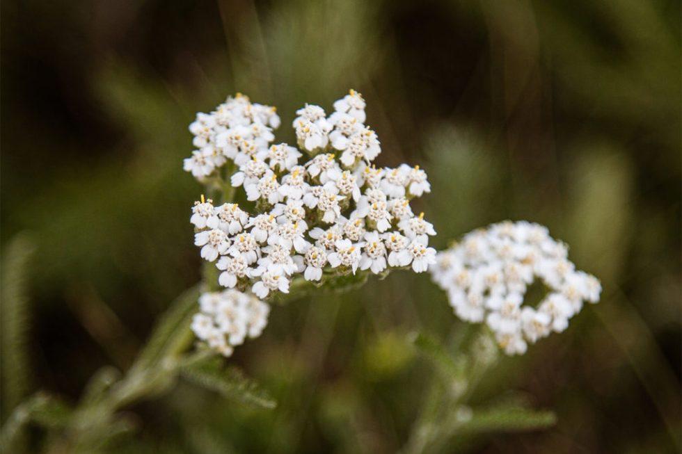 macro white flowers photography