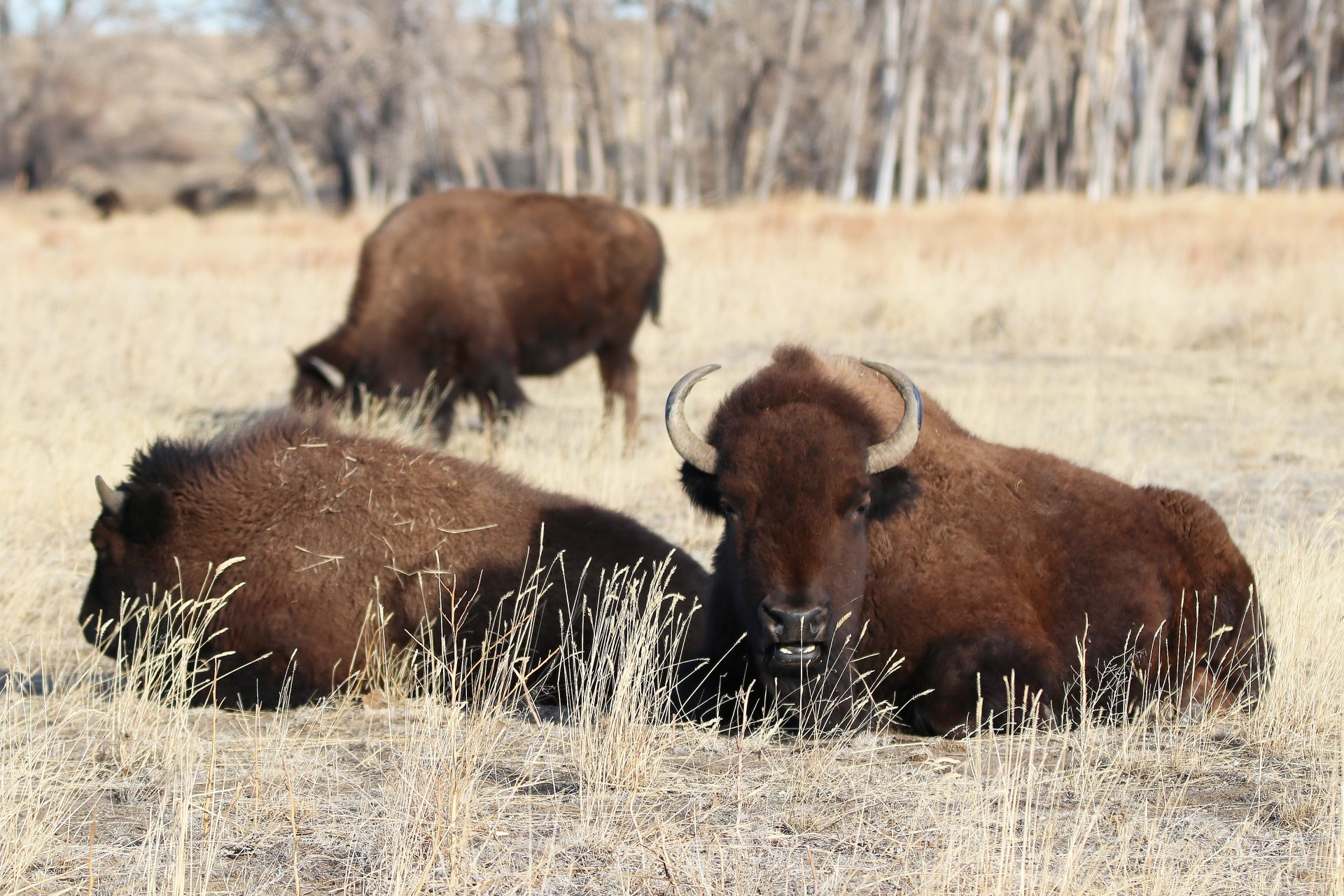 Bison Herd Photographed By Sara Turbyfill At The Rocky Mountain Arsenal National Wildlife Refuge.