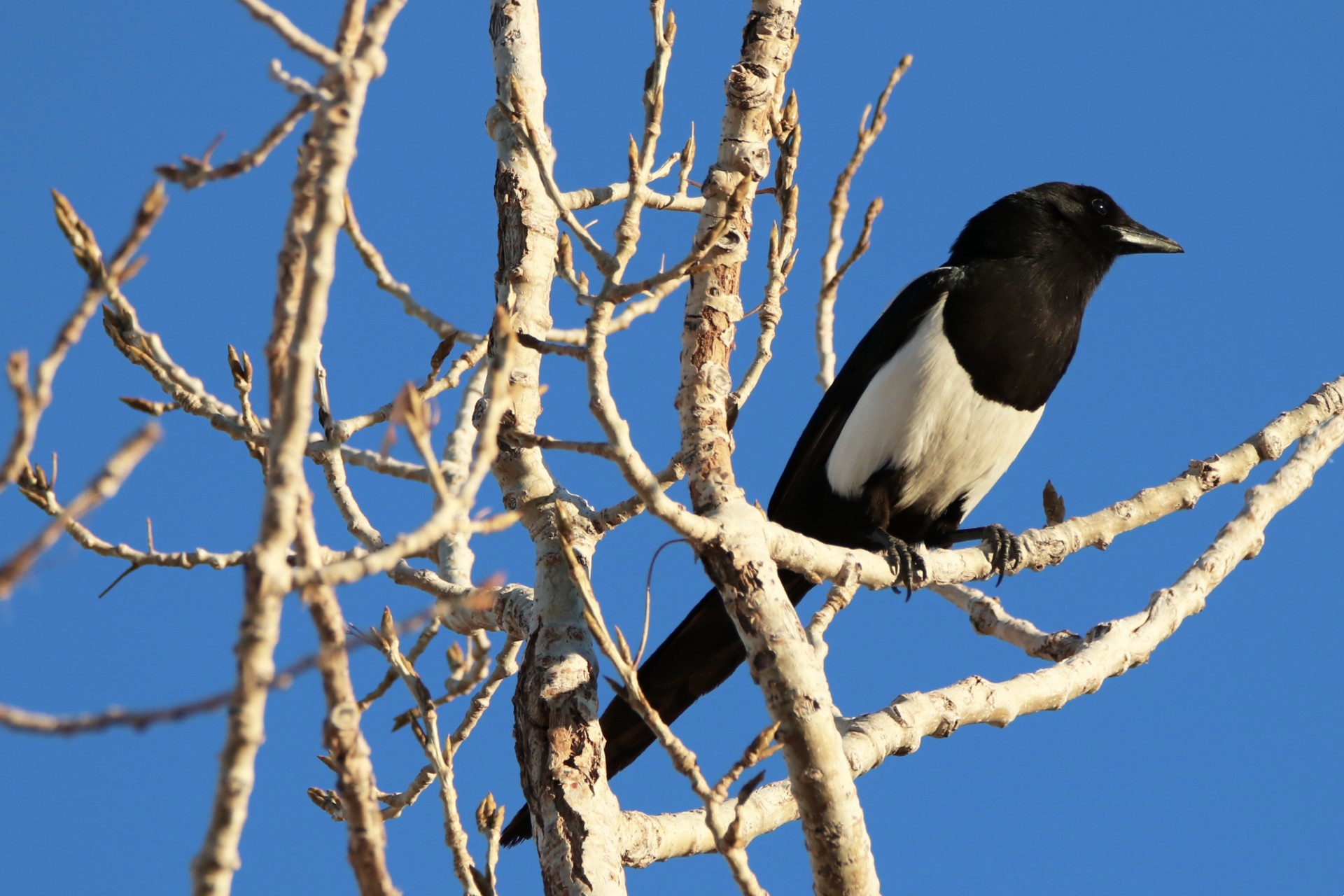 Magpie Photographed By Sara Turbyfill In Commerce City, CO.