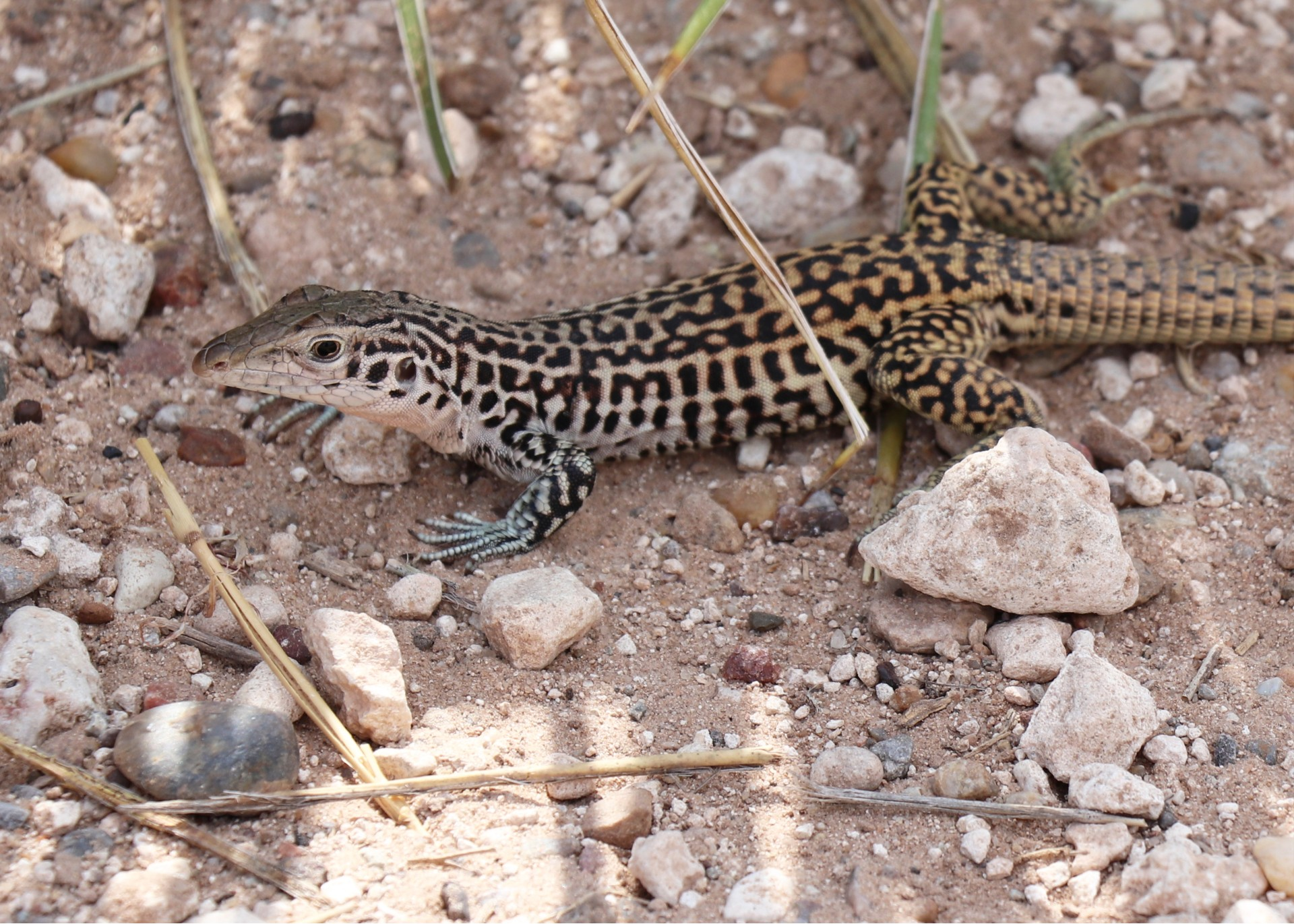 Common Checkered Whiptail Photographed By Sara Turbyfill In Canyon, TX.