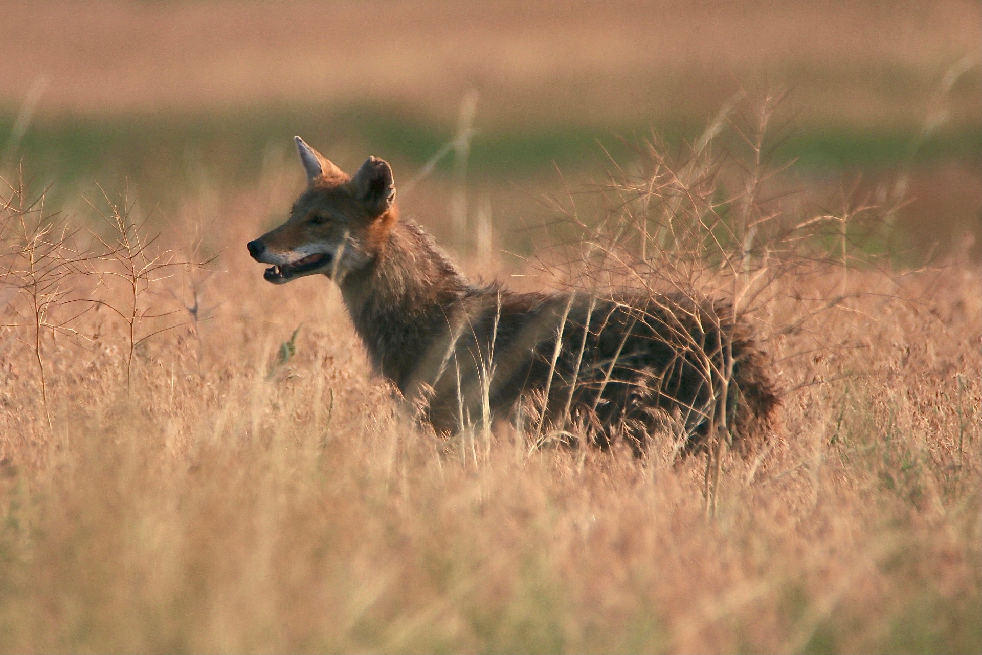 Coyote Photographed By Sara Turbyfill At Rocky Mountain Arsenal National Wildlife Refuge.