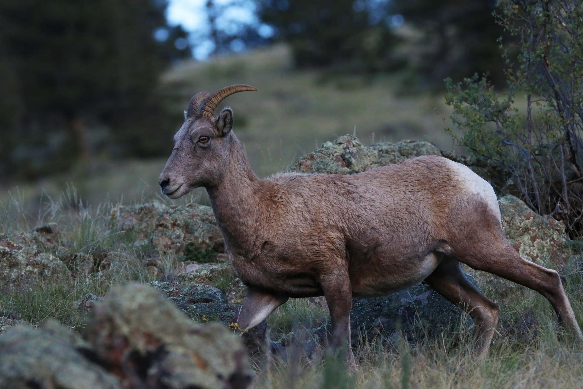 Bighorn Sheep Photographed By Sara Turbyfill Near Table Road In Creede, CO.