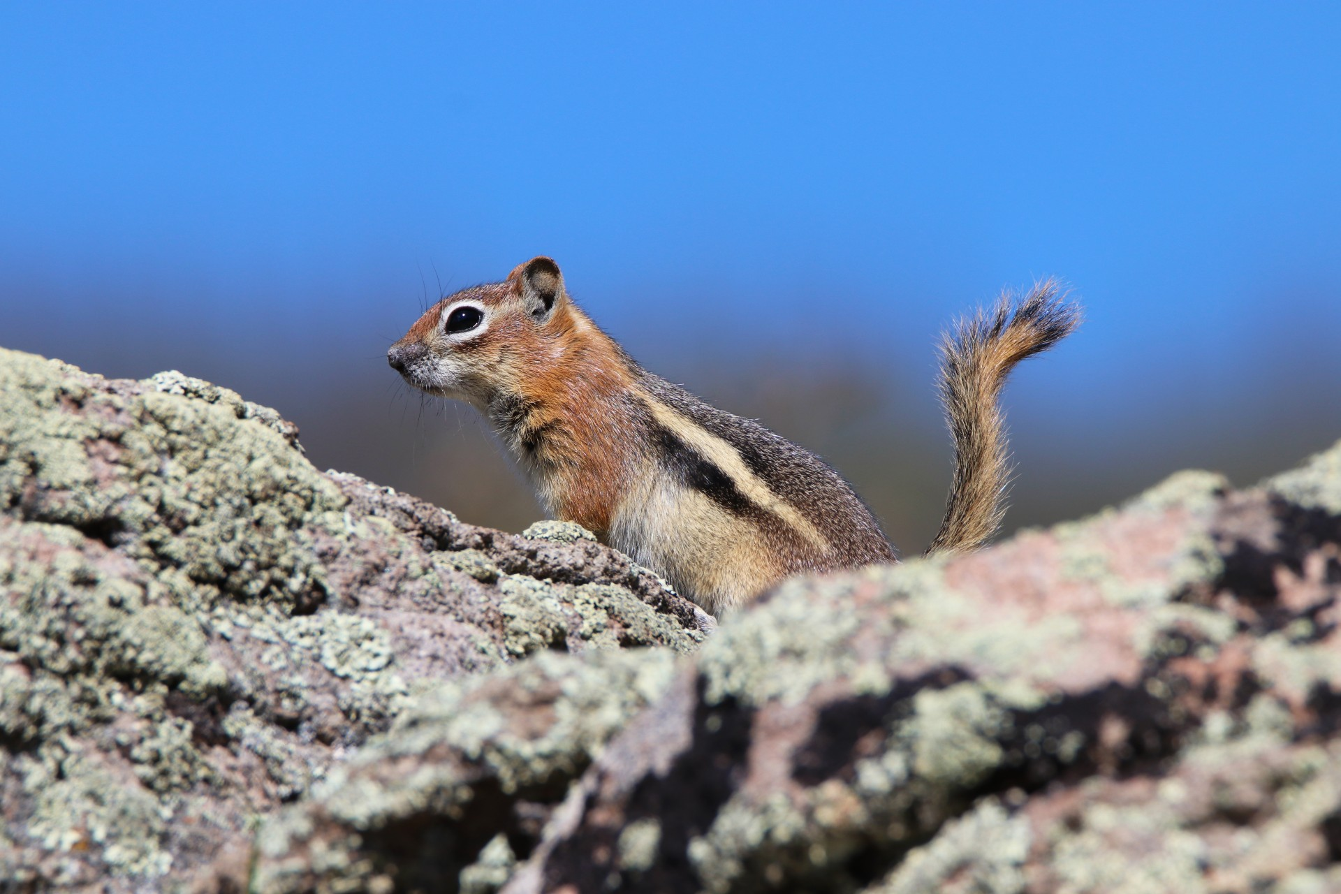 Golden Mantled Ground Squirrel Photographed By Sara Turbyfill Near North Clear Creek Falls.