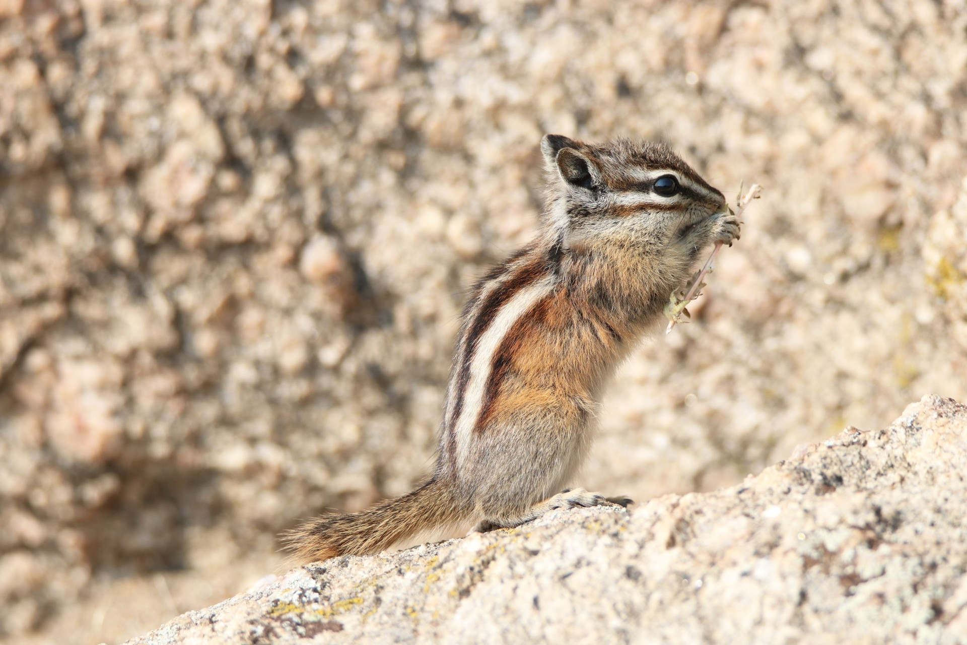 Least Chipmunk Photographed By Sara Turbyfill In Lake George, CO.