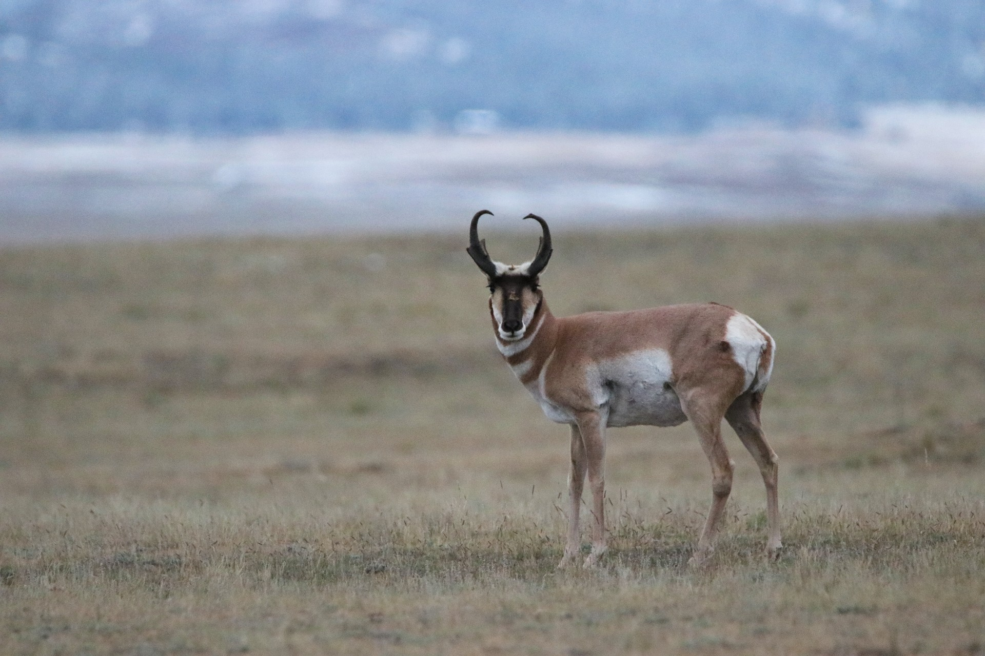 Pronghorn Photographed By Sara Turbyfill Near Eleven Mile State Park.