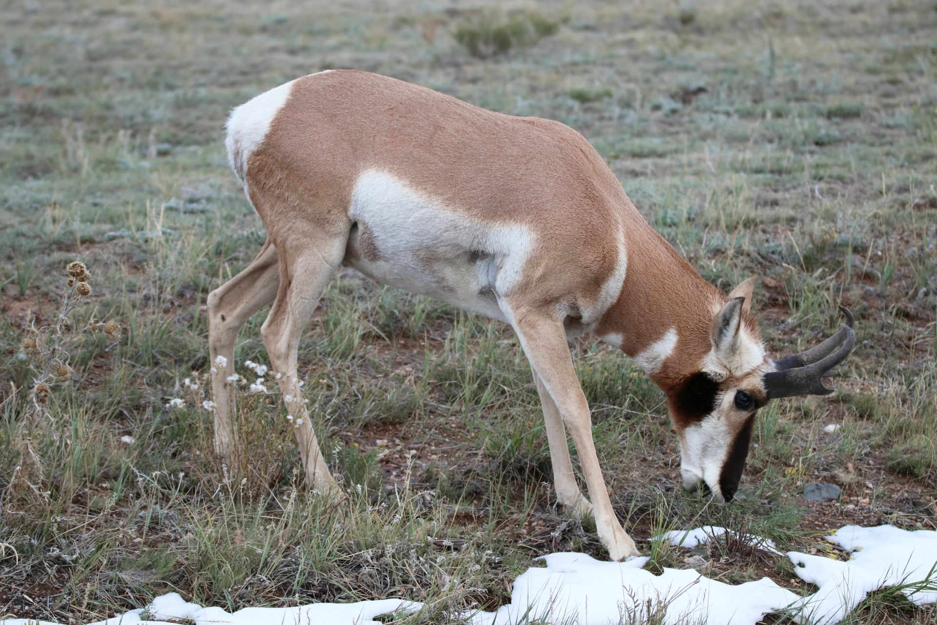 Pronghorn Photographed By Sara Turbyfill In Lake George, CO.